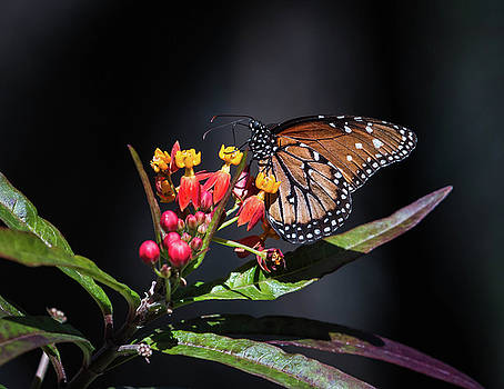 Rosemary Woods-Desert Rose Images - Queen Butterfly-IMG_368317