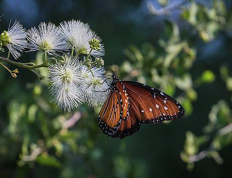 Rosemary Woods-Desert Rose Images - Queen Butterfly-IMG_425417