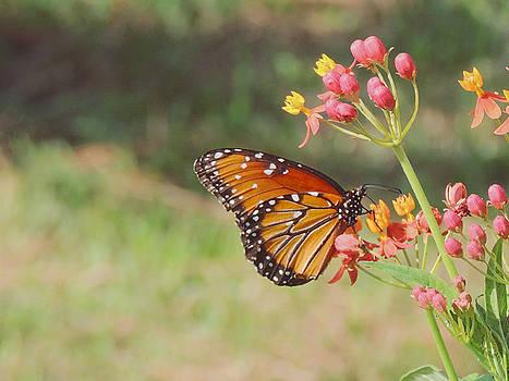 Jayne Wilson - Queen Butterfly on Milkweed