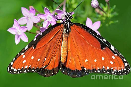Regina Geoghan - Queen Butterfly
