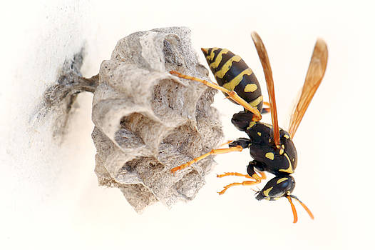 Queen paper wasp on her nest by Paul Cowan