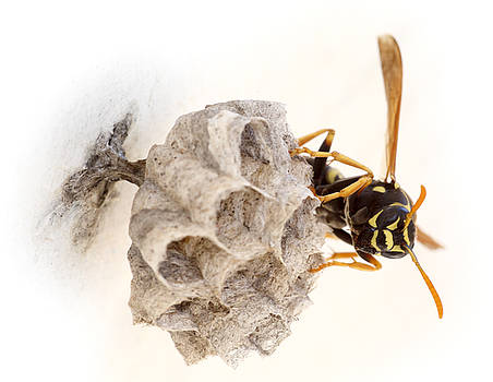 Queen wasp on her nest by Paul Cowan