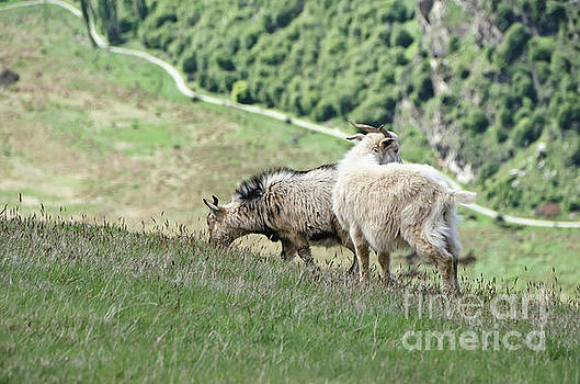 Queenstown New Zealand. Remarkable ranges and wild Goats by Yurix Sardinelly