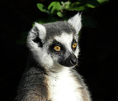 Querying Ring-tailed Lemur by Margaret Saheed