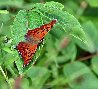 Question Mark butterfly by Ronda Ryan