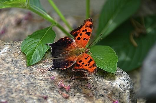 Queston Mark butterfly by Ronda Ryan