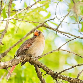 Quite A Few Cardinal Flying Around The by Kanokwalee Pusitanun