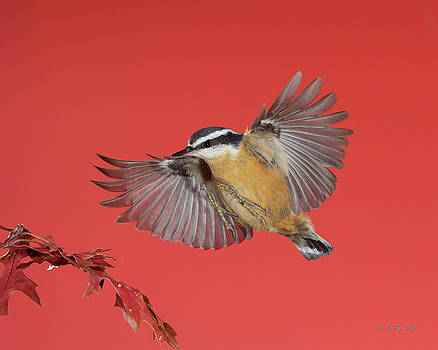 Gerry Sibell - R B Nuthatch