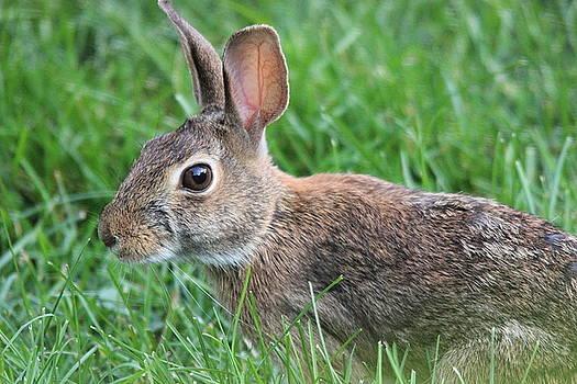 Rabbit In The Grass I by Jake Danishevsky