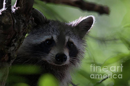 Dale Powell - Raccoon Closeup