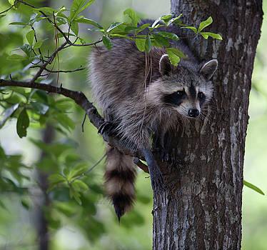 Dale Powell - Raccoon