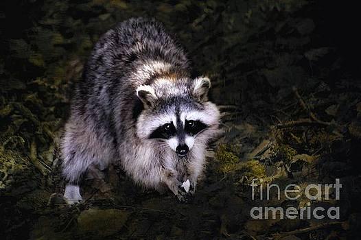 Raccoon  by Elaine Manley