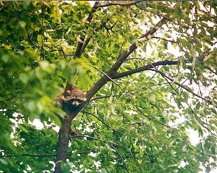 Darlene Bell - Raccoon In Tree