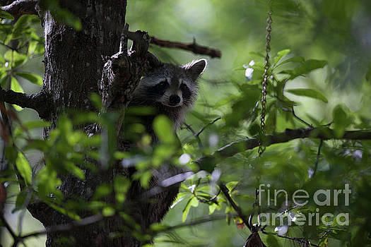Raccoon in Tree Middle of Day by Dale Powell
