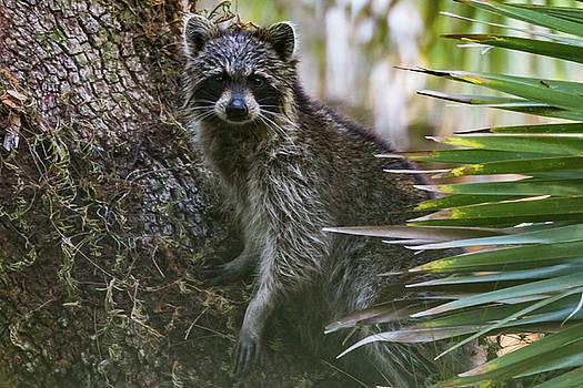 Raccoon by Kelly Kennon