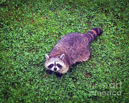 Raccoon  by Kerri Farley