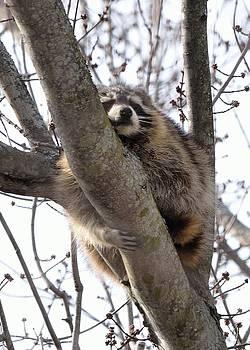 Afternoon Nap-Raccoon up a Tree  by David Porteus