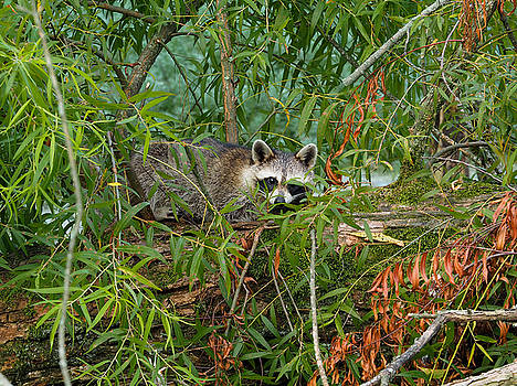 Raccoon Napping on Log by Paula Ponath