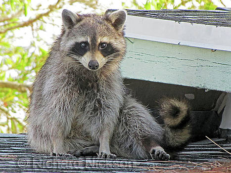 Raccoon On A Roof by Richard Nickson