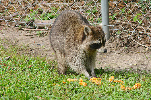 Raccoon snack by Lori Amway