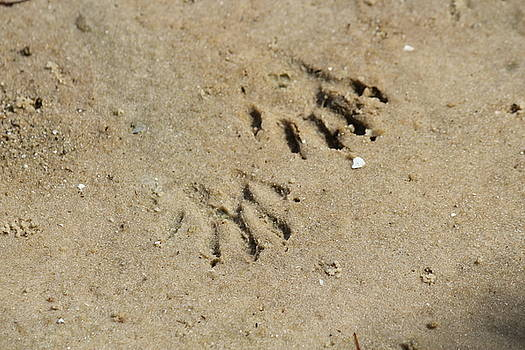 Raccoon Tracks in the Sand by Theresa Willingham