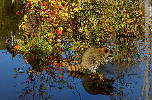 Reimar Gaertner - Racoon dousing and eating food in a still pond reflecting blue s