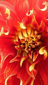 Radiant Dahlia by Michael Hope
