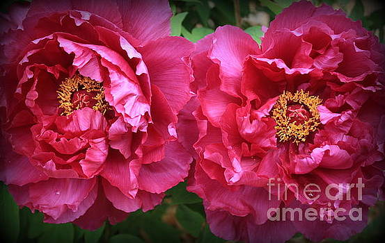 Radiant in Magenta - Peonies by Dora Sofia Caputo Photographic Art and Design