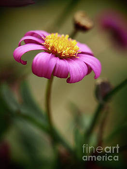Radiant Magenta In The Garden Shadows by Dorothy Lee