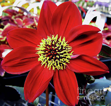 Radiant Red Dahlia by D Hackett