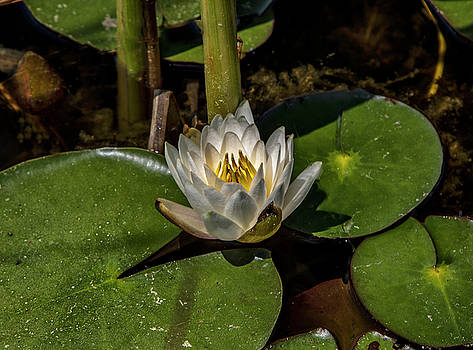 Radiant White Pond Lily  by Betty Pauwels