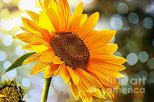 Radiant Yellow Sunflower by Judy Palkimas