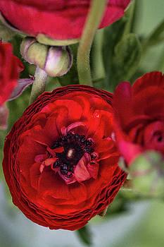 Radical Ranunculus by Vanessa Thomas