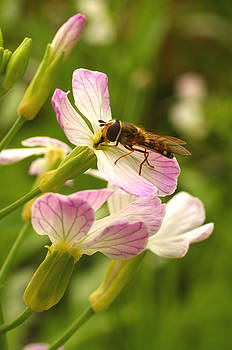 Radish Flower and the Fly by Steve Augustin