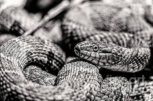 Radnor Lake Northern Water Snake Black and White by Photo Captures by Jeffery