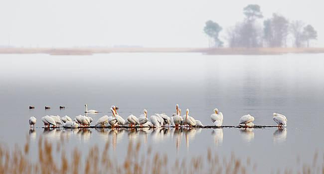 Raft of Pelicans at Blackwater NWR by Jack Nevitt