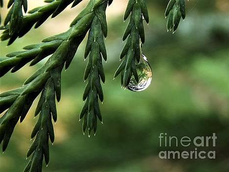 Rain Drop - Leyland Cypress  by Dee Winslow