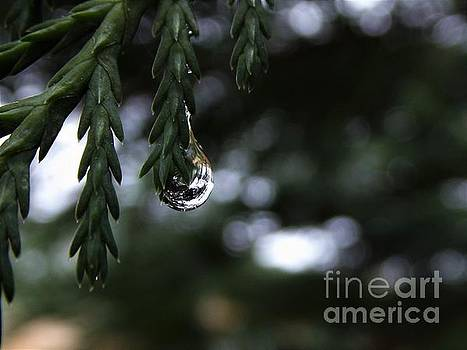 Rain Drop on our Leyland Cypress Tree  by Dee Winslow