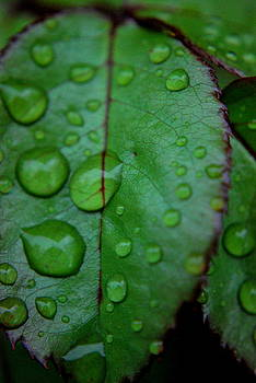 Michelle  BarlondSmith - Rain Drop on Rose Leaf