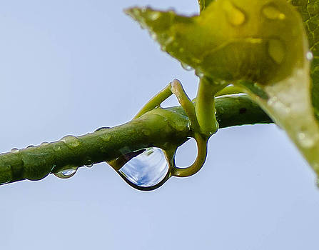 Rain drops on vine by Don L Williams