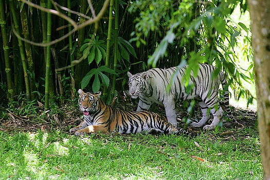 Rain Forest Tigers by Anthony Jones