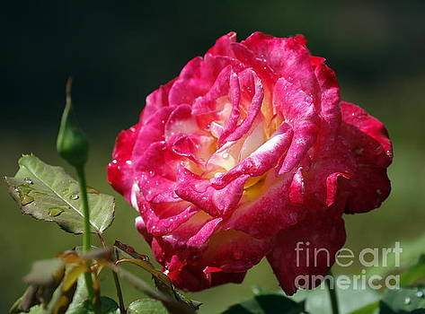 Rain Kissed Rose by Myrna Bradshaw