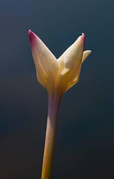 Rain-Lily by Pond by Steven Schwartzman