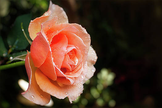 Rain on a lovely rose by Daniela Constantinescu