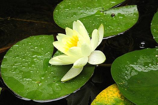 Rain on lily by Amy Layton