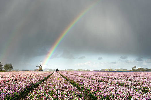 Rainbow over windmill and flower fields by IPics Photography