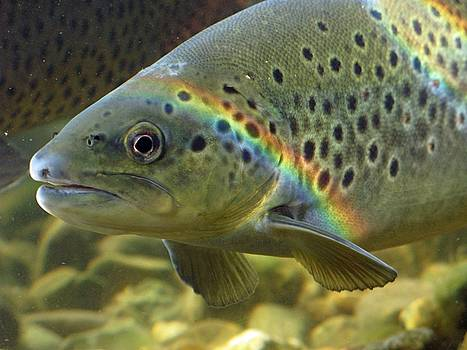 Rainbow Trout 1 by Dan Lease