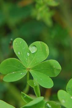 Raindrop on Clover by Michelle  BarlondSmith