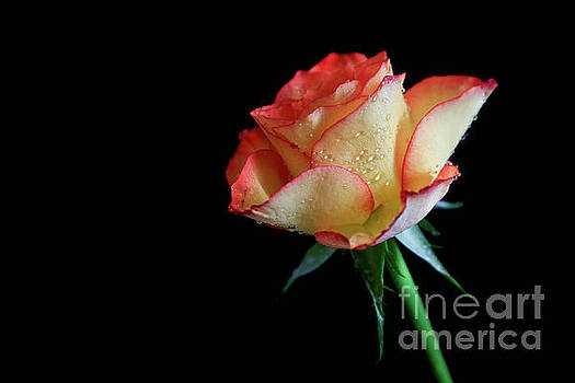 Raindrop Rose by Tracy Hall