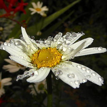 Raindrops on a Daisy by James Hill